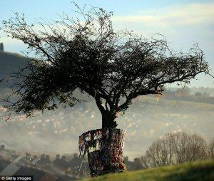 hawthorn tree glastonbury