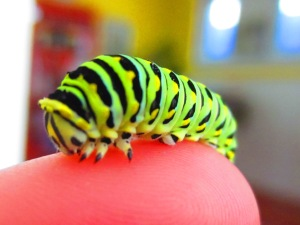 "black swallowtail caterpillar- ""big joe"""