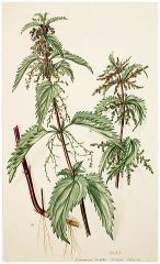 Nettle_botanical_drawing